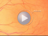How the Macula Works